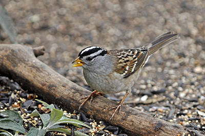 White Crowned Sparrow With Seeds Art Print by Laura Mountainspring