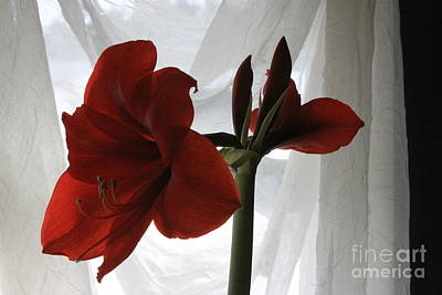 Photograph - White Curtain Red Amaryllis by Robin Maria Pedrero
