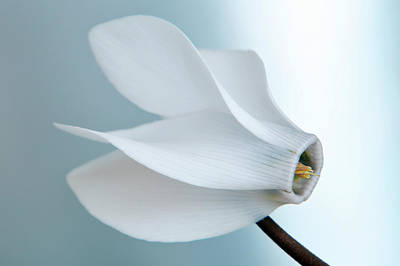 Photograph - White Cyclamen. by Terence Davis