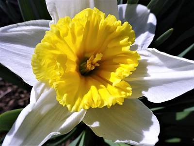 Photograph - White Daffodil Closeup by Amanda Balough