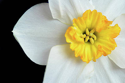 Photograph - White Daffodil Narcissus Closeup by John Williams
