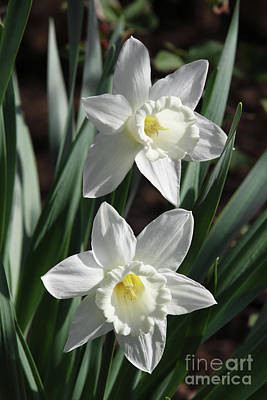 Photograph - White Daffodils #2 by Judy Whitton