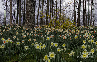 Photograph - White Daffodils by Barbara Bowen