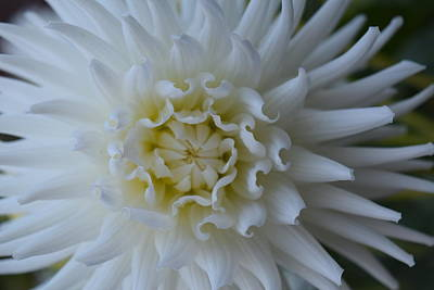 Photograph - White Dahlia by Gallery Of Hope