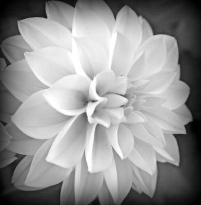Photograph - White Dahlia In Black And White by Kay Novy