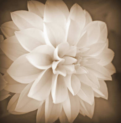 Photograph - White Dahlia In Sepia by Kay Novy