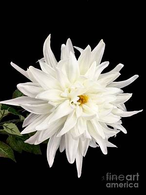 Photograph - White Dahlia by Jeannie Rhode