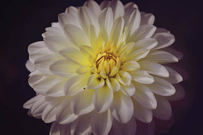 Digital Art - White Dahlia by Mihaela Pater