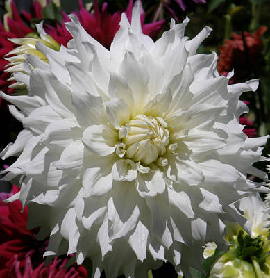Art Print featuring the photograph White Dahlia Photo by Judy Mercer