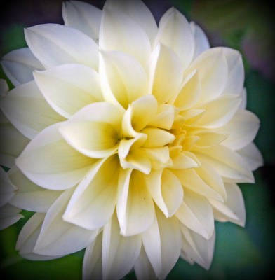 Photograph - White Dahlia With Yellow Center by Kay Novy