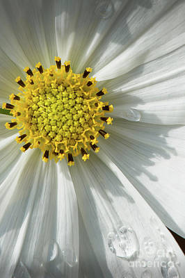Photograph - White Daisey Yellow Center Water Drops by David Zanzinger