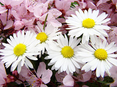 Grimm Fairy Tales Royalty Free Images - WHITE DAISIES Flowers Art Prints Spring Pink Blossoms Baslee Royalty-Free Image by Baslee Troutman