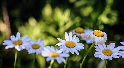 Photograph - White Daisies In A Row by Vishwanath Bhat
