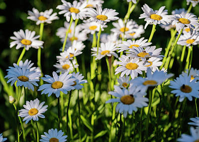 Photograph - White Daisies In Full Bloom by Vishwanath Bhat