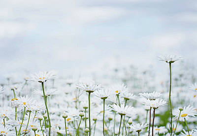 Photograph - White Daisies In Summer Sunshine 2 by Rebecca Cozart