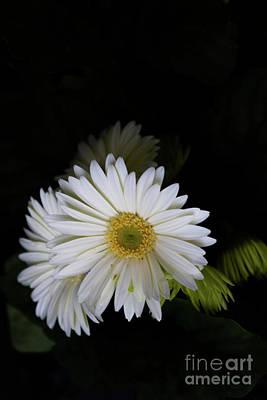 Photograph - White Daisies by William Norton