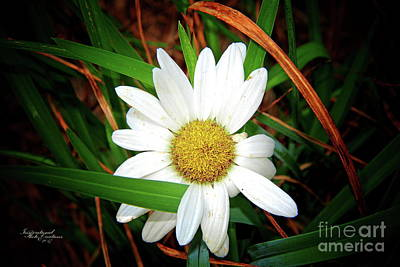 Photograph - White Daisy by Inspirational Photo Creations Audrey Taylor