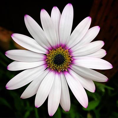Photograph - White Daisy by Brian Eberly
