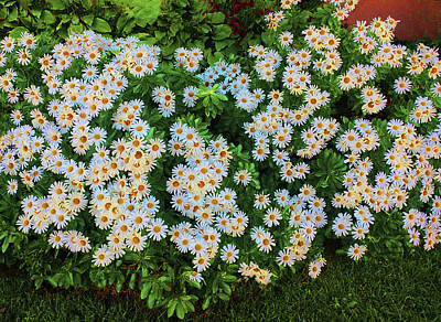 Photograph - White Daisy Bush by Roger Bester