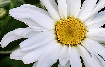 Photograph - White Daisy Close Up by Bruce Bley