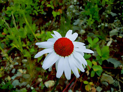 Photograph - White Daisy by Pacific Northwest Imagery