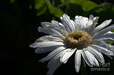 Photograph - White Daisy by Diana Mary Sharpton