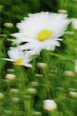 Photograph - White Daisy Digital Oil Painting by Vishwanath Bhat