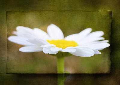 Photograph - White Daisy by Eduard Moldoveanu
