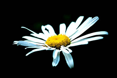 Photograph - White Daisy Flower Black Background by Alexander Senin