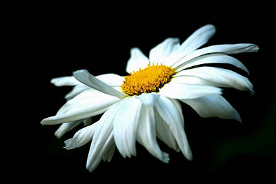 Photograph - White Daisy Flower In The Wind by Alexander Senin