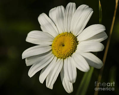 Photograph - White Daisy Flower by JT Lewis