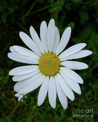 Photograph - White Daisy by Julia Underwood