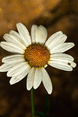 Photograph - White Daisy by Karol Livote