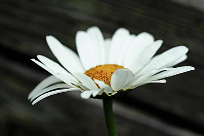 Photograph - White Daisy On Wood by Debbie Oppermann