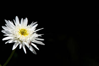 Photograph - White Daisy Stands Out From The Shadow by Lisa Knechtel