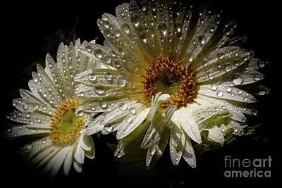 Photograph - White Daisy by William Norton