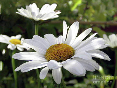Photograph - White Dasies by Kim Tran