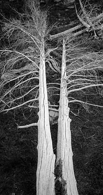 Crystal Wightman Royalty Free Images - White Dead Trees Royalty-Free Image by Crystal Wightman