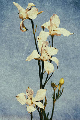 Photograph - White Delphinium Of Remembrance by John Williams