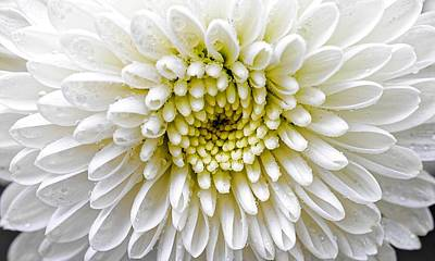 Photograph - White Dew - Chrysanthemum by KJ Swan