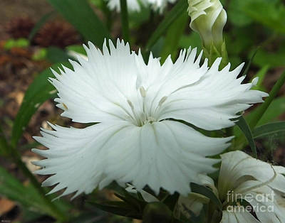 Photograph - White Dianthus by Lizi Beard-Ward