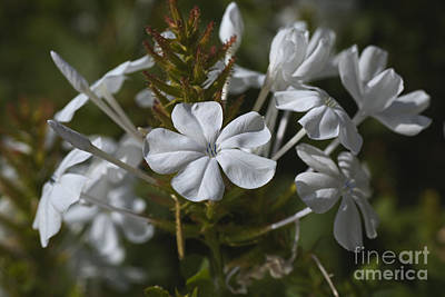 Photograph - White Display Plumbago Flowers by Joy Watson
