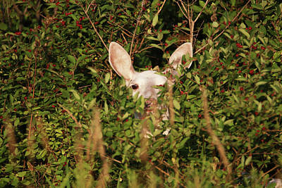 Photograph - White Doe In Berries by Brook Burling