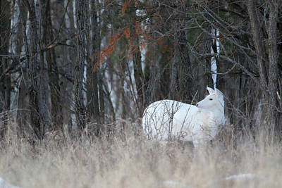 Photograph - White Doe Look Back by Brook Burling