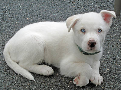 Photograph - White Dog Blue Eyes by Barbara McDevitt