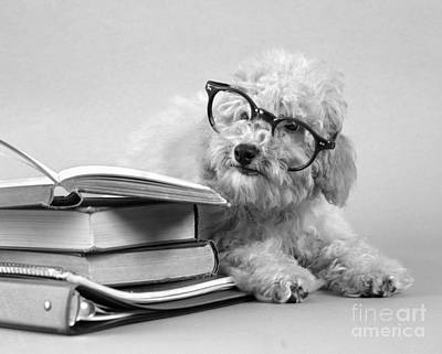 Back To Life Photograph - White Dog In Black Eyeglasses, C.1950s by H. Armstrong Roberts/ClassicStock