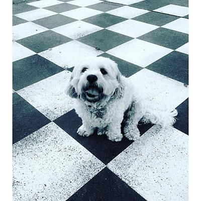 Photograph - White Dog Takes Black Knight sit by Paul Dal Sasso