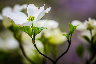 Photograph - White Dogwood 1 by Karen Saunders