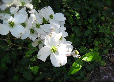 Photograph - White Dogwood And Ivy 2 by Nancy Patterson