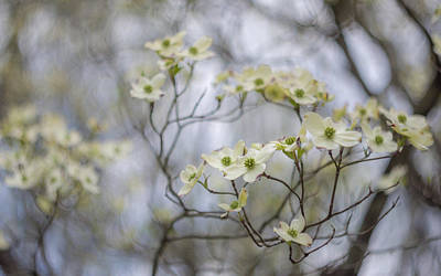 Photograph - White Dogwood Blooms by Lori Coleman
